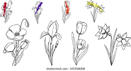 Ensemble de fleurs image vectorielle. Pavot, iris, tulipe, jonquille dans un style graphique très détaillé. Petites fleurs aux éclaboussures colorées pour la décoration des cartes, à l'arrêt du mariage