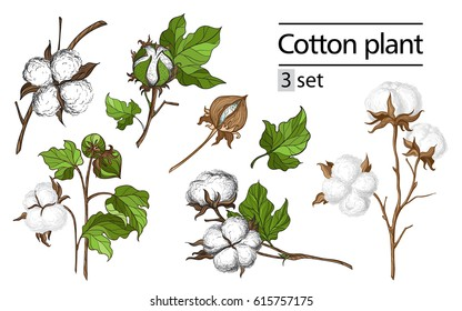 Vector set of hand draw ink cotton plant and lettering. Botanical illustrations.