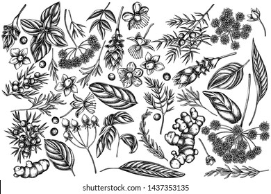 Vector set of hand drawn black and white angelica, basil, juniper, hypericum, rosemary, turmeric