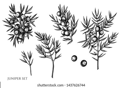 Vector set of hand drawn black and white juniper
