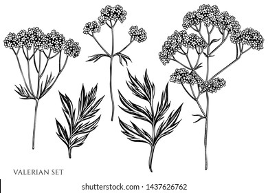 Vector set of hand drawn black and white valerian