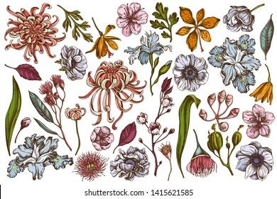 Vector set of hand drawn colored  japanese chrysanthemum, blackberry lily, eucalyptus flower, anemone, iris japonica, sakura