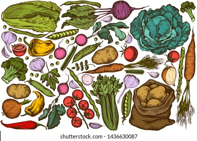 Vector set of hand drawn colored onion, garlic, pepper, broccoli, radish, green beans, potatoes, cherry tomatoes, peas, celery, beet, greenery, chinese cabbage, cabbage, carrot