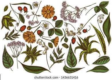 Vector set of hand drawn colored aloe, calendula, lily of the valley, nettle, strawberry, valerian
