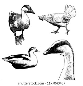 Vector set of hand drawn illustration of poultry isolated . Collection of sketches of goose, duck, chicken. Template for card, poster, banner, print for t-shirt, pin, badge, patch.