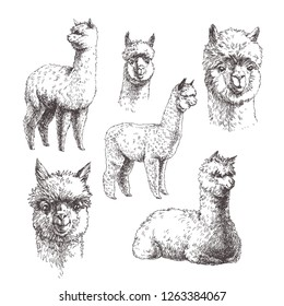 Vector set of hand drawn illustration of alpaca. Sketches of animals isolated on white.