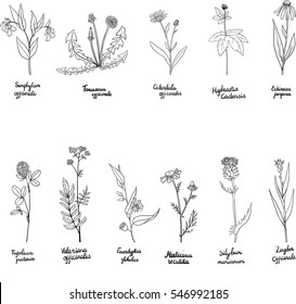 vector set of hand drawn medical herbs, line drawing plants with latin names, isolated floral elements