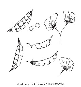 vector set of hand-drawn green pea pods and flowers. Doodle icon, sticker, print, sketch. isolated on a white background.