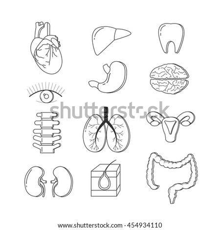 Vector Set Human Body Organs Anatomy Stock Vector Royalty Free
