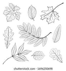 Vector set of leaves, collection of hand-drawn leaves. Set of black and white autumn falling leaves - rowan, chestnut, oak, aspen, maple, sketch style vector illustration isolated on white background.