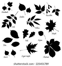Vector set of leaves silhouettes with hand-written common names of trees and bushes on white background. Linden, ash, oak,maple, box elder, sugar maple, chestnut, birch, elm, willow, aspen, ninebark.