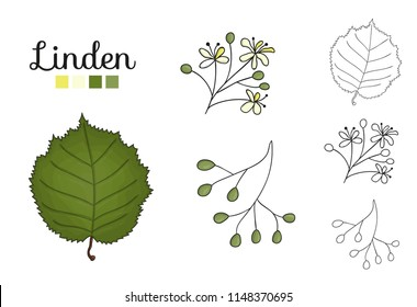 Vector set of linden tree elements isolated on white background. Botanical illustration of linden leaf, brunch, flowers, fruits, ament, cone. Black and white clip art