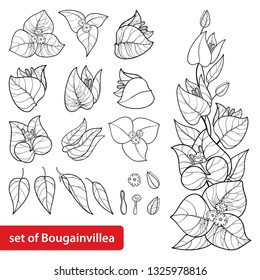 Vector set with outline Bougainvillea or Buganvilla flower bunch with bud and leaf in black isolated on white background. Tropical ornate Bougainvillea in contour for summer design or coloring book.