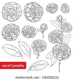 Vector set with outline Camellia flower bunch, bud and leaves in black isolated on white background. Ornate evergreen plant Camellia in contour style for summer design or coloring book.