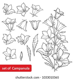 Vector set with outline Campanula or Bellflower or Bluebell flower bunch, leaves and bud in black isolated on white background. Perennial plant in contour style for summer design and coloring book.