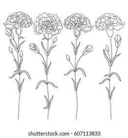 Vector set with outline Carnation or Clove flower, bud and leaves in black isolated on white background. Ornate floral carnations for spring or summer design, coloring book in contour style.
