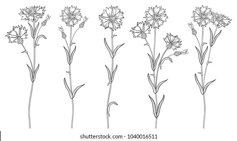 Vector set with outline Cornflower or Knapweed or Centaurea flowers bunch, bud and leaf in black isolated on white background. Ornate Cornflower in contour style for summer design and coloring book.