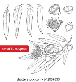 Vector set with outline Eucalyptus globulus or Tasmanian blue gum, fruit, flower and leaves isolated on white background. Contour Eucalyptus branch for cosmetic, herbs, medical design, coloring book.