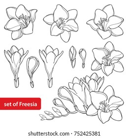 Vector set with outline Freesia flower bunch and ornate bud in black isolated on white background. Perennial fragrant plant Freesia in contour style for summer design and coloring book.