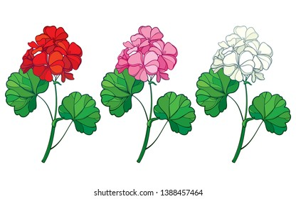 Vector set with outline Geranium or Cranesbills flower bunch and ornate leaf in red, pink and pastel white isolated on white background. Contour ornamental garden plant Geranium for summer design.