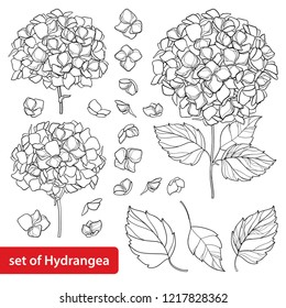 Vector set with outline Hydrangea or Hortensia flower bunch and ornate leaves in black isolated on white background. Contour ornamental garden plant Hydrangea for summer design and coloring book.