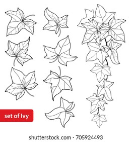 Vector set with outline Ivy or Hedera. Ornate leaf and Ivy vine in black isolated on white background. Evergreen perennial climbing plant in contour style for botanical design and coloring book.