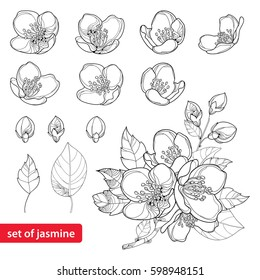 Vector set with outline Jasmine flowers, bud and leaves in black isolated on white background. Ornate floral elements for spring design and coloring book. Jasmine flower in contour or line art style.