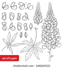 Vector set with outline Lupin or Lupine or Bluebonnet flower bunch, bud and ornate leaves in black isolated on white background. Contour decorative plant Lupin for summer design and coloring book.
