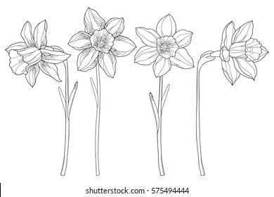 Vector set with outline narcissus or daffodil flowers in black isolated on white background. Ornate floral elements for spring design and coloring book. Narcissus flower in contour style.