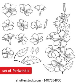 Vector set with outline Periwinkle or Vinca flower bunch and ornate leaves in black isolated on white background. Contour ornamental groundcover plant Periwinkle for summer design and coloring book.