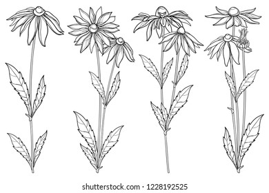 Vector set with outline Rudbeckia hirta or black-eyed Susan flower bunch, ornate leaf and bud in black isolated on white background. Contour Rudbeckia flowers for summer design or coloring book.