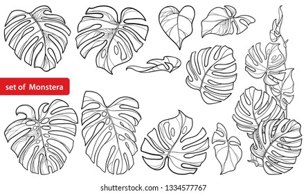 Vector set with outline tropical Monstera or Swiss cheese plant leaf bunch in black isolated on white background. Ornate Monstera large foliage in contour for summer design or jungle coloring book.
