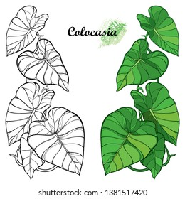 Vector set with outline tropical plant Colocasia esculenta or Elephant ear or Taro leaf bunch in black and green isolated on white background. Ornate contour Colocasia leaves for summer coloring book.
