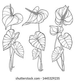 Vector set of outline tropical plant Anthurium or Anturium flower bunch with leaves in black isolated on white background. Ornate contour Anthurium flowers for summer design or coloring book.