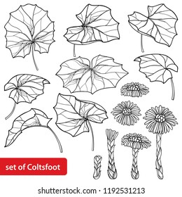 Vector set with outline Tussilago farfara or coltsfoot or foalfoot, leaves and flower in black isolated on white background. Contour medicinal plant coltsfoot for herbal design or coloring book.
