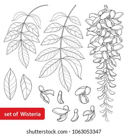 Vector set of outline Wisteria or Wistaria flower bunch, bud and leaves in black isolated on white background. Ornamental climbing plant Wisteria in contour style for spring design or coloring book.