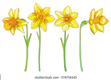 Vector set with outline yellow narcissus or daffodil flowers isolated on white. Ornate floral elements for spring design, greeting card, invitation. Narcissus flower in contour style