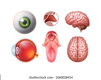 Vector set of realistic detailed human organs — eye eyeball, tongue, nose cross, brain top, side view isolated on white background