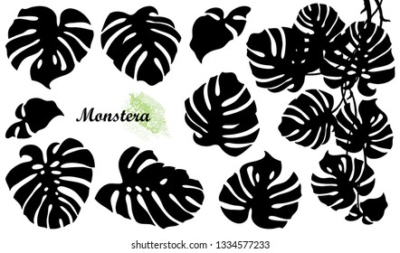 Vector set with silhouette of tropical Monstera or Swiss cheese plant leaf bunch in black isolated on white background. Large foliage of Monstera deliciosa for summer design.
