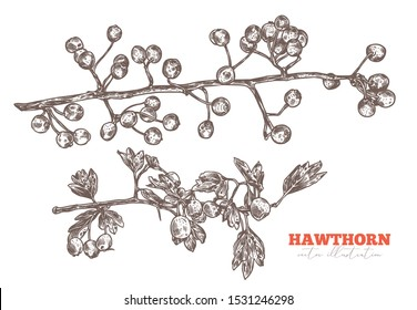 Vector set of sketch hand drawn branches of hawthorn with foliage and berries. Sketch floral herbal plant illustration. Engraved botanical etching