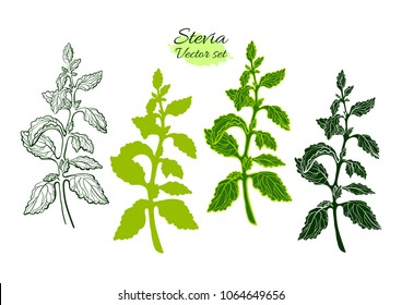 Vector set of stevia with branch, leaf. Fresh sugar organic plant Natural sweet food. Botanical hand draw symbol. Organic diabetic drink Graphic art line illustration isolated on white background