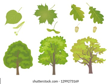 Vector set of three common European forest trees with detail of leaf and fruit. Tilia cordata, acer platanoides, quercus robus, quercus petraea.