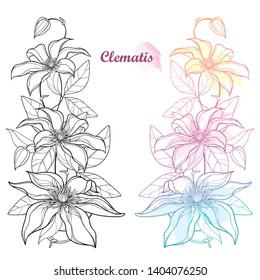 Vector set of vertical bouquet with outline Clematis or Traveller's joy ornate flower bunch, bud and leaves in black and pastel isolated on white background. Contour liana Clematis for summer decor.