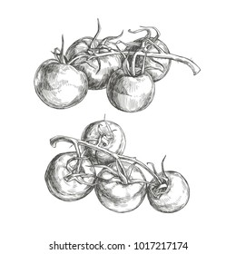Vector set of vintage illustration of tomatoes on vine. Realistic hand drawn vegetables in engraving style isolated on white background.