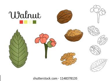 Vector set of walnut tree elements isolated on white background. Botanical illustration of walnut leaf, brunch, flowers, nuts. Black and white clip art