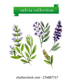 Vector set of watercolor salvia twigs and flowers isolated on white background. Herbs hand drawn  artistic design. Cooking book, recipe article illustration. Menu cover, print, advertising.