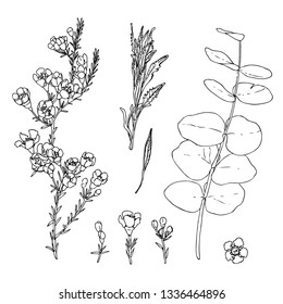 Vector set of waxflower, silver-leaf stringybark and lavender leaves. Black ink hand drawn flowering plants with flowers, buds and leaves. Sketch of ornamental plants