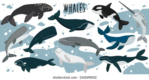 Vector set of whales illustrations. Vector illustration of a whale. Beluga, killer whale. Undersea world. Marine life.