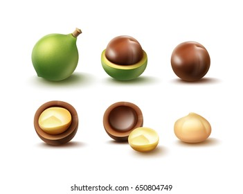 Vector set of whole and shelled cut macadamia nuts close up side view isolated on white background
