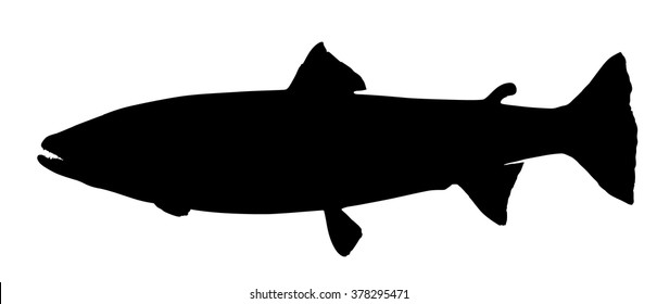 Vector silhouette of Atlantic Salmon (adult female).